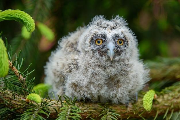 Baby gufo comune nel bosco, seduto su un tronco d'albero nell'habitat della foresta