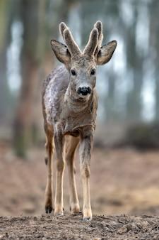 Cervo maschio bambino nella foresta
