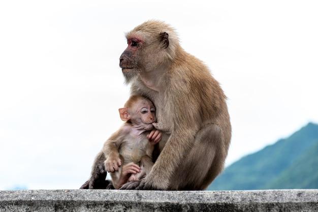 Cucciolo di scimmia che mangia il latte materno