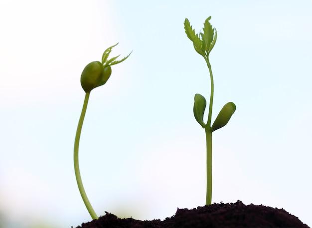 Piccole piante di neem emergono dal terreno
