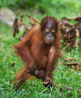 Il cucciolo di orango sta giocando con un bastone di legno. indonesia. l'isola del borneo (kalimantan).