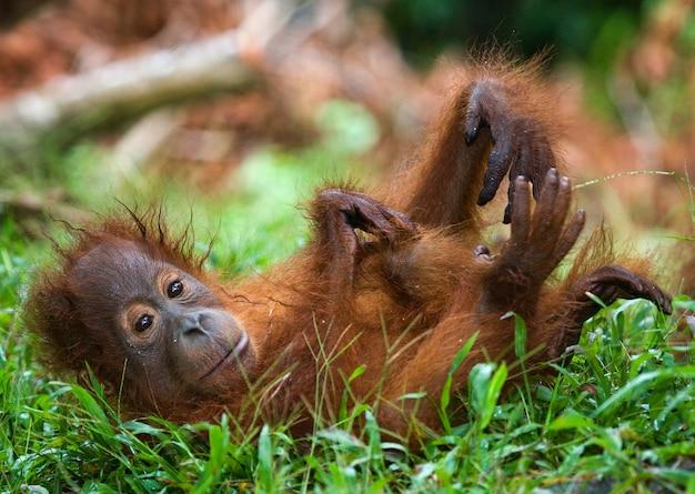 Cucciolo di orango allo stato brado. indonesia. l'isola di kalimantan (borneo).