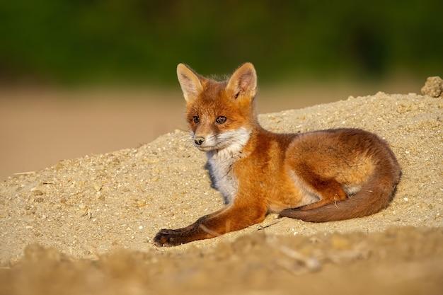 Baby volpe rossa sdraiata sulla sabbia nel sole della sera d'estate