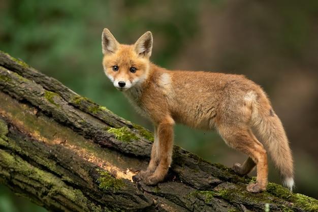 Baby red fox in piedi sul legno nella natura estiva