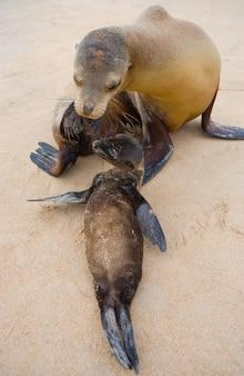 Leone marino del bambino con sua madre sulla sabbia