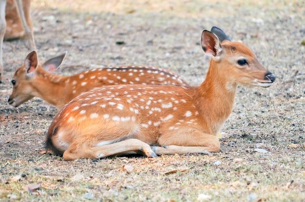 Baby cervo sika
