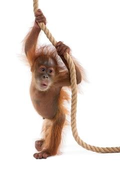 Baby sumatran orangutan, in piedi