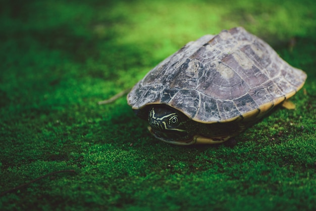 Baby tartaruga sul muschio in natura
