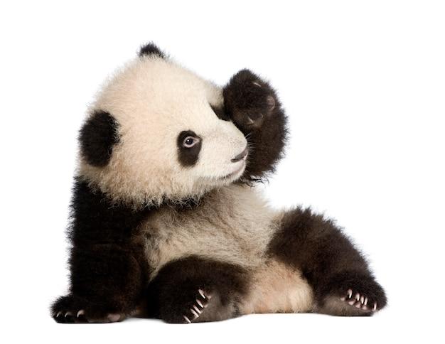 Bambino, giovane, panda gigante, melanoleuca di ailuropoda su un bianco isolato