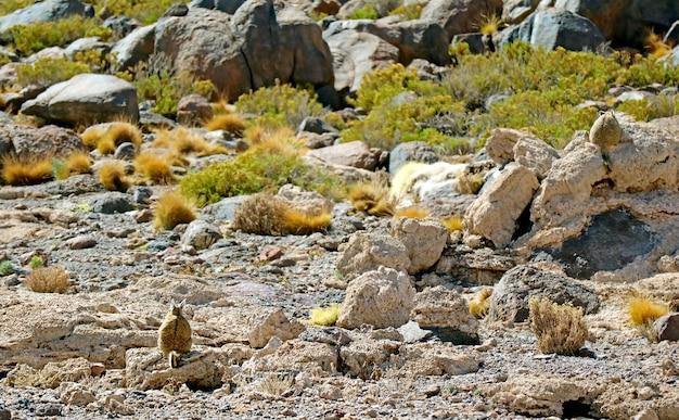 Retro di una montagna viscacha seduto sulla roccia nell'arido deserto del dipartimento di potosi bolivia