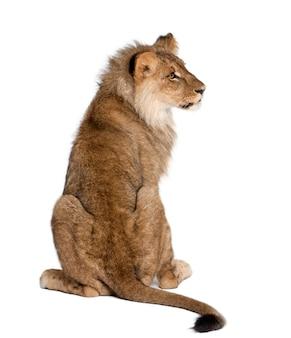 Punto di vista posteriore di un leone, panthera leo, isolato
