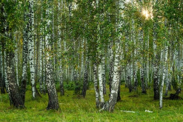 Sfondo - bosco di betulle autunnali nella luce della sera