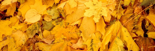 Sfondo di foglie cadute autunnali di un albero di acero. fogliame autunnale giallo e arancione sul terreno. vista dall'alto. striscione