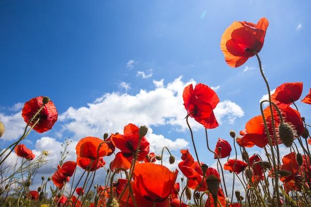 Sfondo di un bellissimo campo di papaveri rossi contro un cielo blu brillante. provenza, francia. un poster