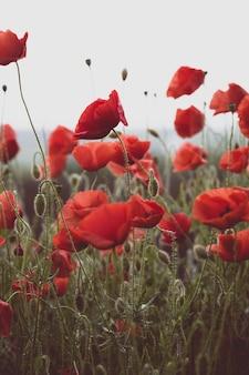 Sfondo del bellissimo campo di papaveri rossi. provenza, francia. un poster