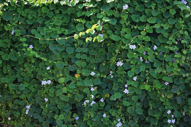 Sullo sfondo di un fiore di vite blu tromba