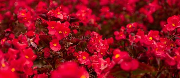 Sfondo di fiori estivi rosso vivo su un'aiuola