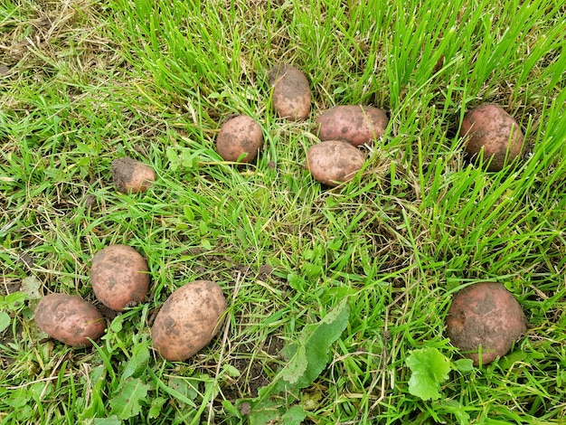 Sfondo di patate marroni sdraiate sull'erba verde