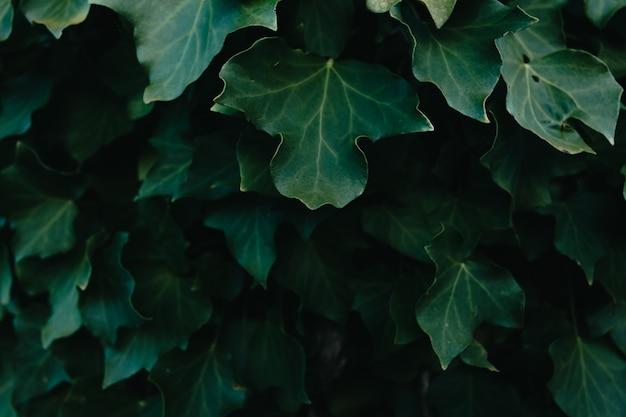 Uno sfondo di foglie verde scuro con super texture e copia spazio e texture con ombre scure
