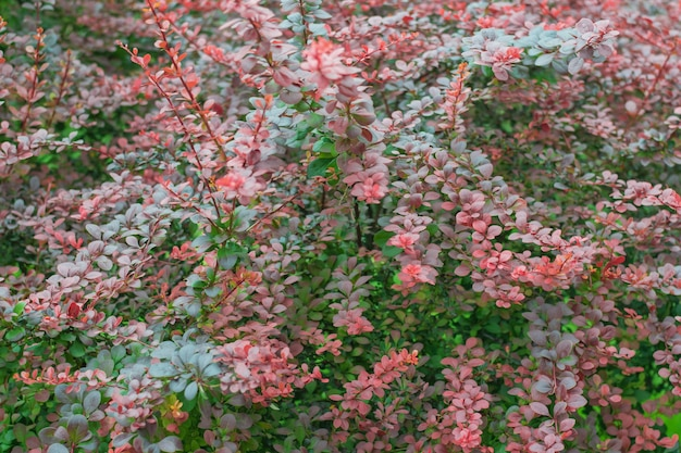 Sfondo di un arbusto esotico con foglie verdi e rosse. una bella pianta.