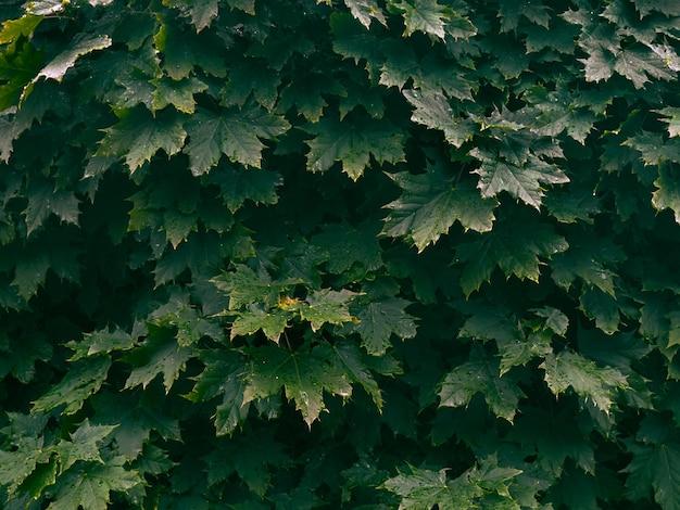 Sfondo di foglie verdi fresche.
