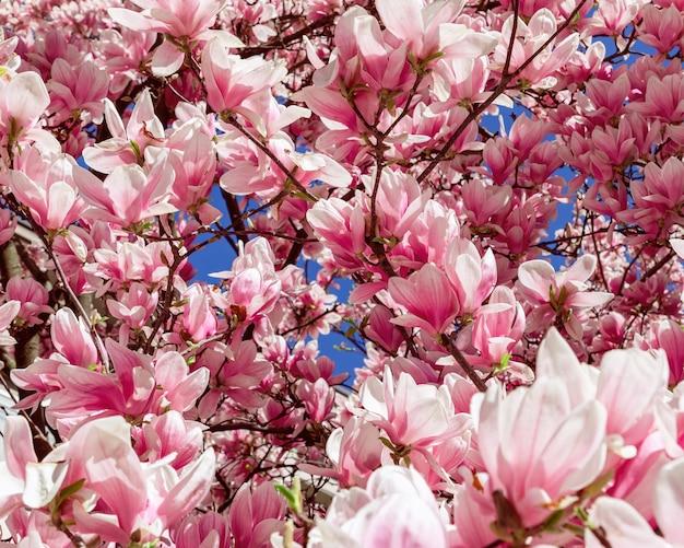 Sfondo da fiori naturali di magnolia viola (messa a fuoco selettiva, formato quadrato)
