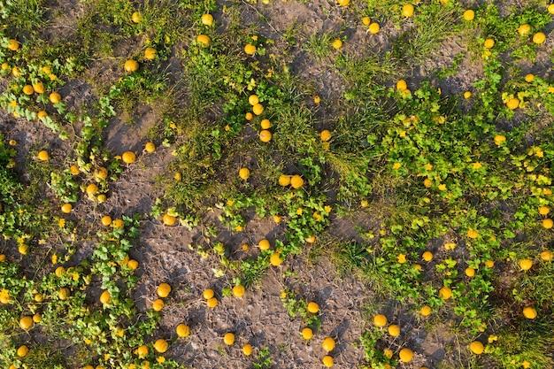 Sfondo dal campo di zucca con più verdure che crescono dall'alto
