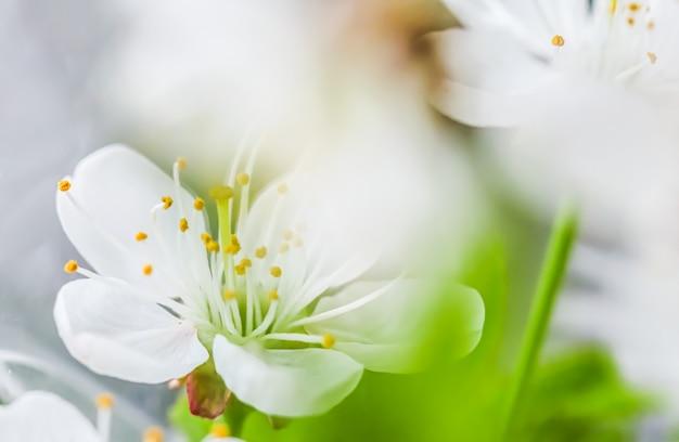 Sfondo di fiori bianchi di ciliegio o prugna con foglie verdi nel giardino primaverile