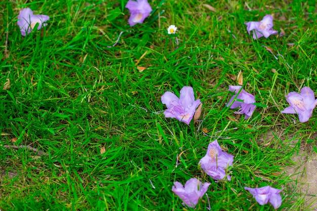 Erba di sfondo e fiori caduti ibisco viola.