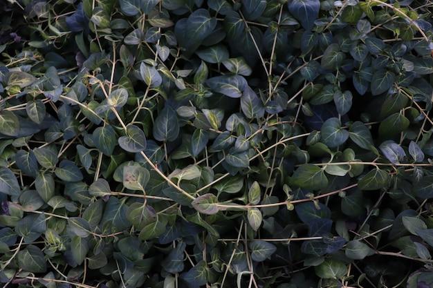 Sfondo di foglie verdi edera