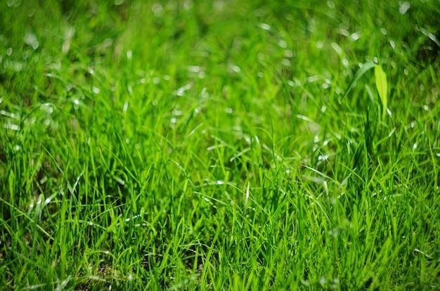 Sfondo di erba verde estiva, messa a fuoco selettiva e bokeh