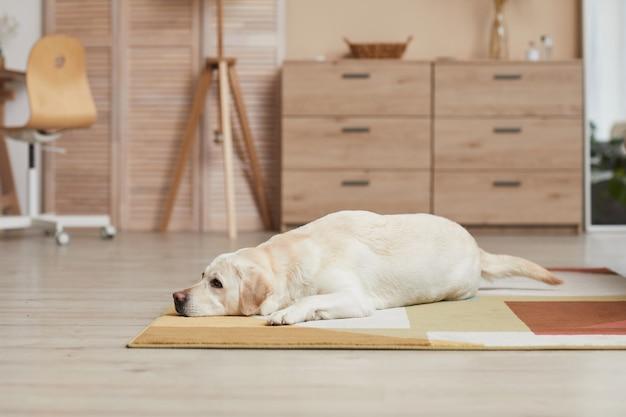 Immagine di sfondo del cane labrador bianco sdraiato su un tappeto in un interno minimo di casa con elementi in legno, spazio copia