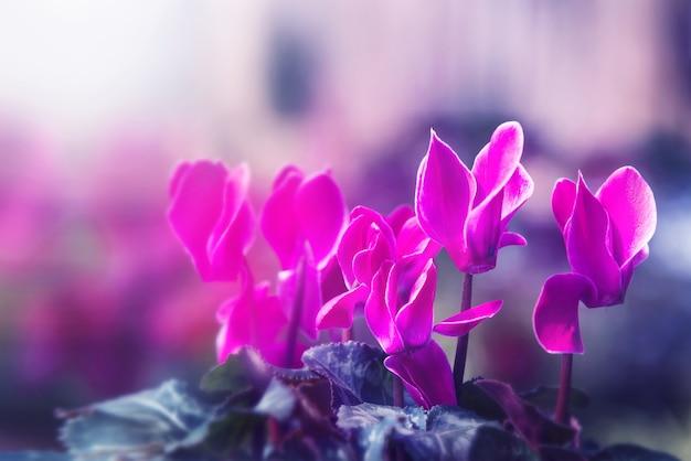 Sfondo natura fiore. fiori da giardino. fiori rosa