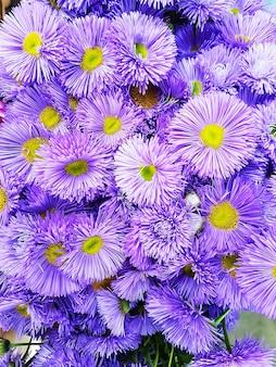 Sfondo fiori viola erigeron spiciosus finemente petalo bouquet di fiori blu