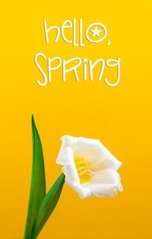 Sfondo di tulipano bianco fiore primaverile per carta e per le vacanze, ciao testo primaverile, tema festa della donna, foto a colori gialla