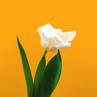 Sfondo di fiori primaverili su carta gialla, composizione macro con posto per il testo, mockup o foto modello floreale