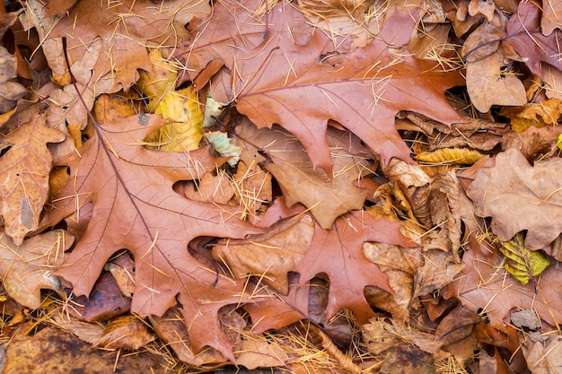 Sfondo, texture di foglie secche di autunno di quercia rossa, vista dall'alto_