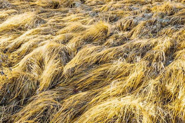 Trama di sfondo di erba secca