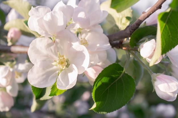 Sfondo con ramo di fiori di mela. giardino di primavera