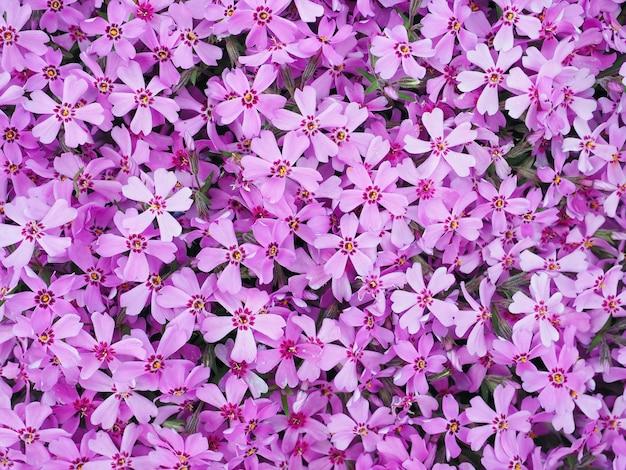Sfondo con numerosi piccoli fiori viola phlox subulata durante una giornata di sole