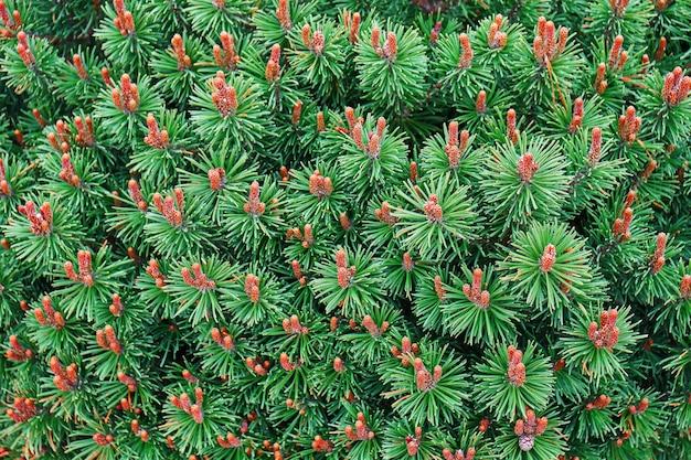Sfondo con rami di pino mops con aghi verdi e coni arancioni