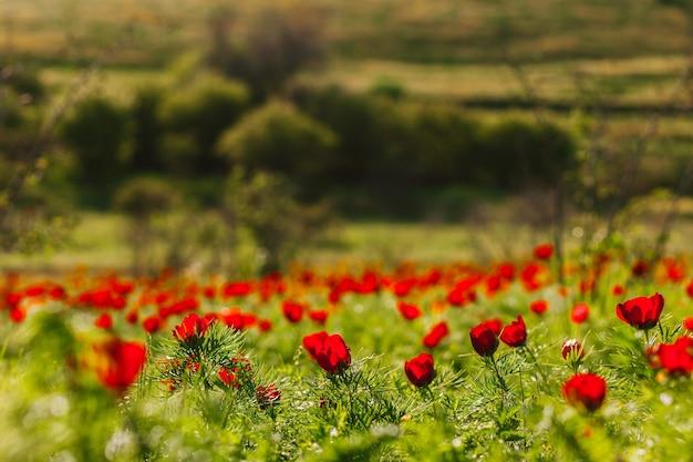 Sfondo con fiori di peonia rossa peonia