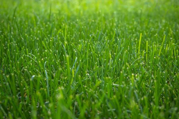 Sfondo con erba verde rifilata. avvicinamento.