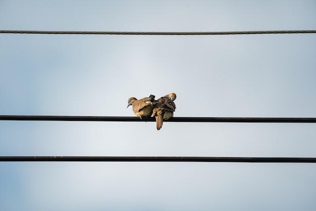Coppia di colombe sul retro si appendono al cavo elettrico con sfondo chiaro.