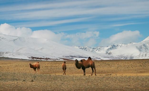 Cammelli della battriana nelle steppe montane della mongolia