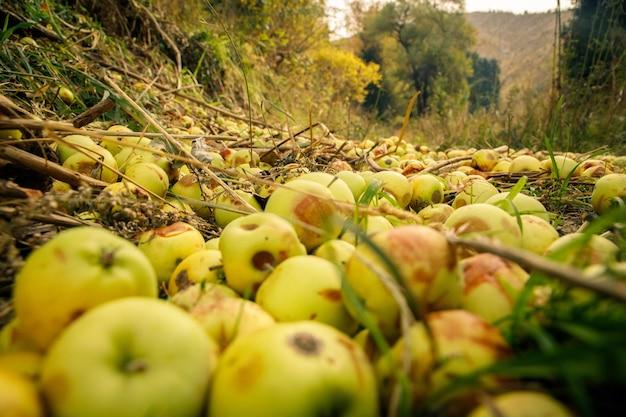 Cattivo scarto raccolto di mele che marcisce sul terreno nelle montagne di almaty.