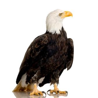 Bald eagle (22 anni) - haliaeetus leucocephalus di fronte su un bianco isolato