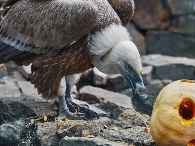 L'aquila calva mangia la zucca
