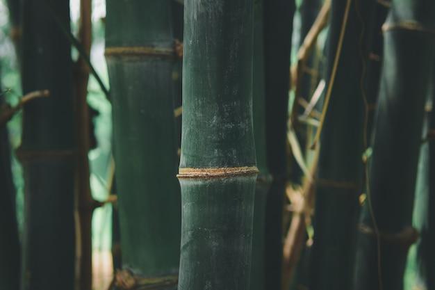 Foresta di bambù (dendrocalamus sericeus munro) in thailandia