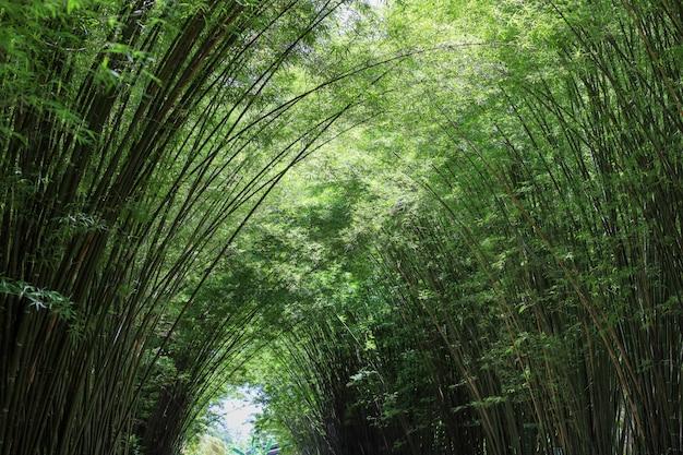 La foresta di bambù in natura alla tailandia